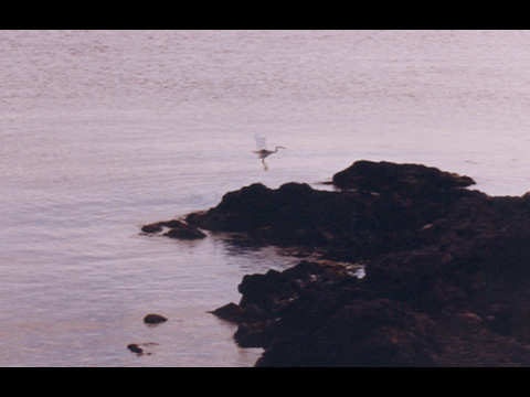 Airone di Pantelleria.