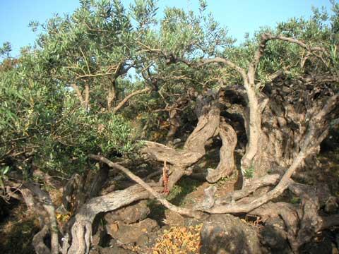 Dicono che questo albero ha 400 anni.