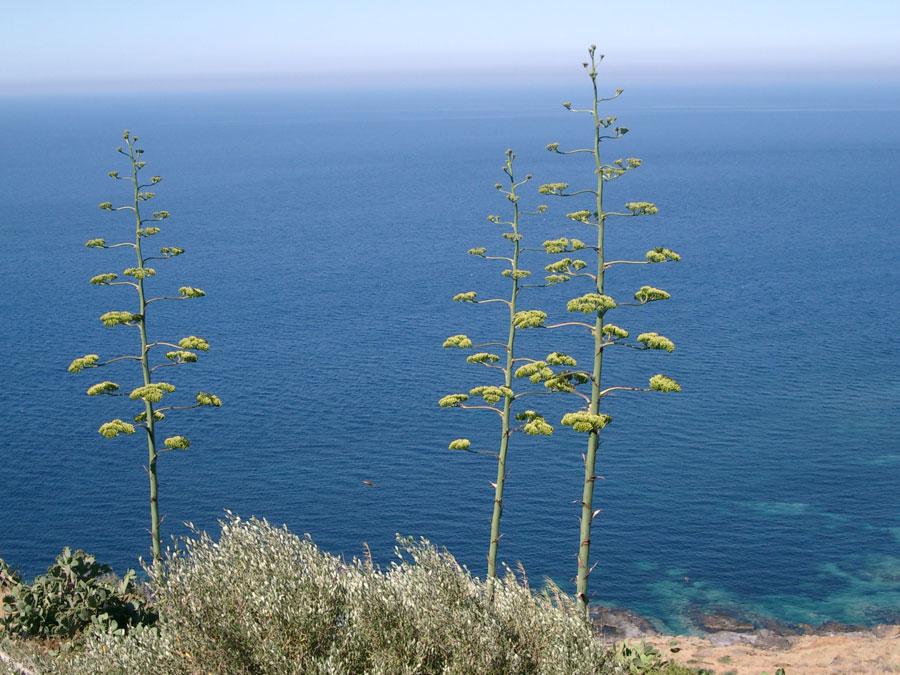 L'agave di Pantelleria