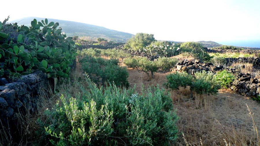 Campo di ulivi.